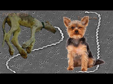 Лептоспироз у собак | Симптомы | Лечение.