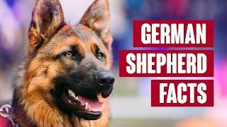 German Shepherd Everything You Need To Know