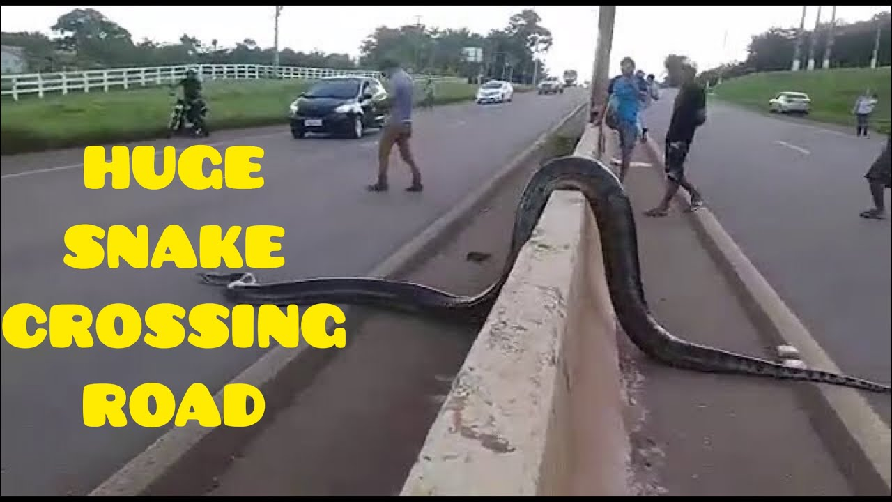 People Stop Traffic To Help Enormous Anaconda Safely Cross The Road