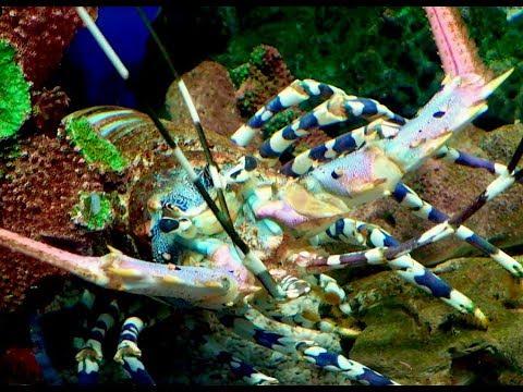 ニシキエビ Ornate spiny lobster, Painted spiny lobster Panulirus ornatus