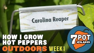 How I Grow Hot Peppers Outdoors – Week 1