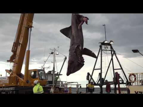 漁民捕捉到已經85年沒看過的3噸重深海怪鯊,誇張大的