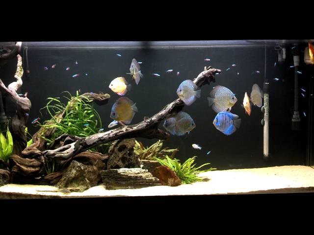 Josh's Discus Fish Tank - Blue Fish Aquarium 11.13.14