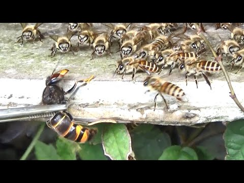 , title : '怒り狂うミツバチの大群にスズメバチを近づけると...