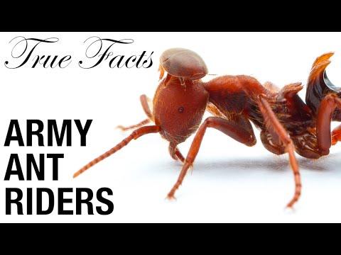 Pasažéři bojových mravenců - Pravdivá fakta