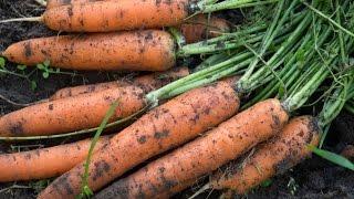 Как правильно сеять морковь видео