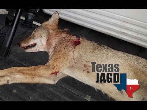 První kojot