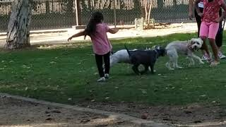 American Bully Puppies Videos