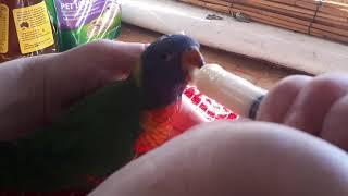 Hand Feeding Baby Rainbow Lorikeet