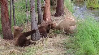 Three Cute Brown Bear Cubs Play and Wrestle for Six Minutes Straight