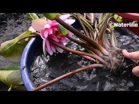 Инструкция по посадке водяной лилии с открытой корневой
