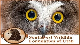 Rescued Saw-whet Owl Babies!  Cute Little Owls With Razor Sharp Talons!
