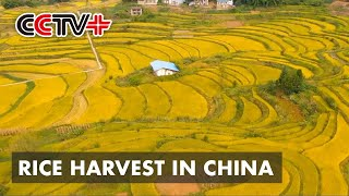 Farmers Start to Harvest Rice in South, Southwest China