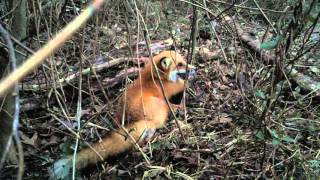 Red Fox 2-12-2016 (Dispatch Included)