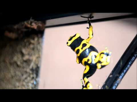 Bumble Bee Dart Frog-------Caidens Video
