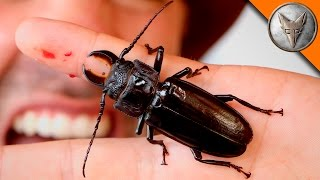 PINCHED! by a Giant Beetle!