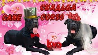 Вязка собак Кане Корсо. #canecorso