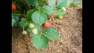 Подсыпаем опилки под ягодные кустики видео