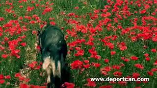 Así prepara el Campeón de España de Adiestramiento su perro para el Mundial de Dinamarca.