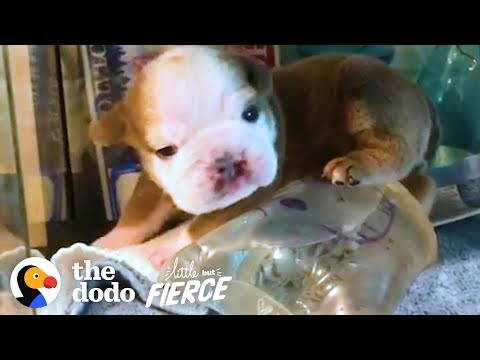 Watch This Itty Bitty Bulldog Grow Up In an Incubator — Then Burst Out! | The Dodo Little But Fierce
