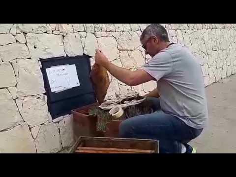 Miele allatto di trattamento di uno sciame di haemo