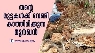 Cobra waiting for its eggs | Snake Master EP#241 | Kaumudy TV