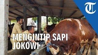 Mengintip Sapi Kurban Milik Jokowi di Tangerang Berbobot 1,2 Ton Seharga Rp 90 Juta