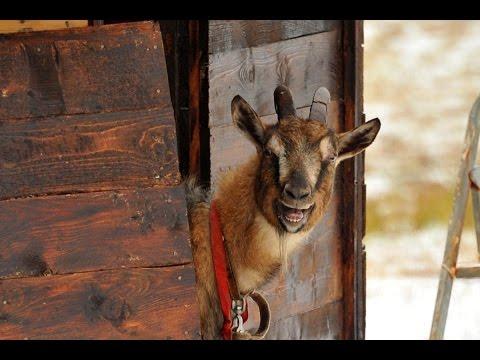 Козёл Тимур послал сватов козе Меркель. Находковскую  Маньку он уже забодал.
