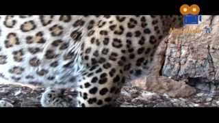 preview picture of video 'Persian leopard Documentary HQ مستند در جستجوی پلنگ ایرانی'
