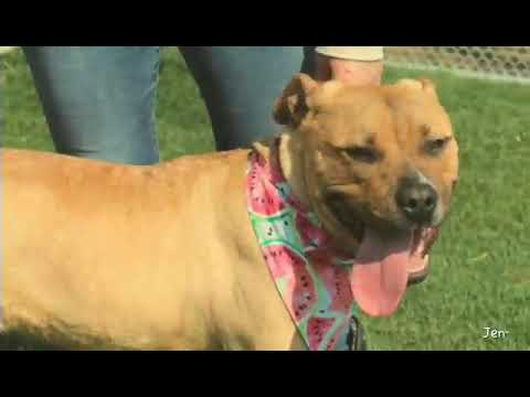 Honey (Fostered in Omaha), an adoptable Pit Bull Terrier Mix in Papillion, NE