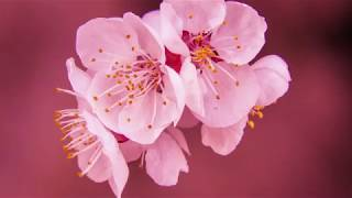 Whitfield-Manjiro Museum Cherry Blossom Festival Promo