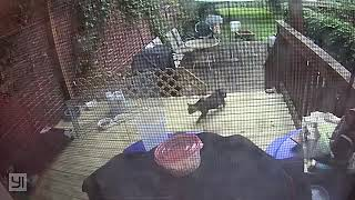 Using a drop trap to catch pregnant mama cat on Northside