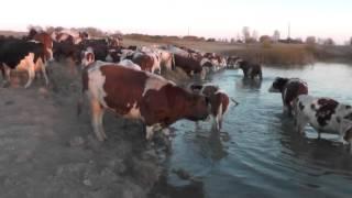 Вечерний водопой коров. Сибирская деревня Потеряевка