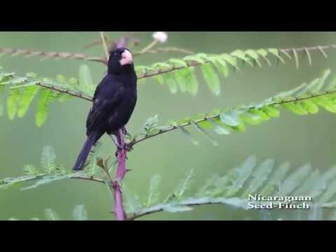 Oryzoborus nuttingi