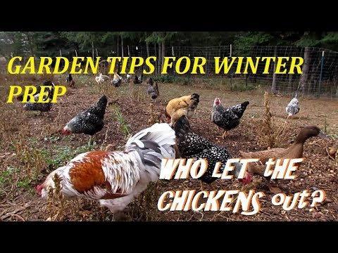 LET THE CHICKENS OUT SECRET TO FALL GARDENING