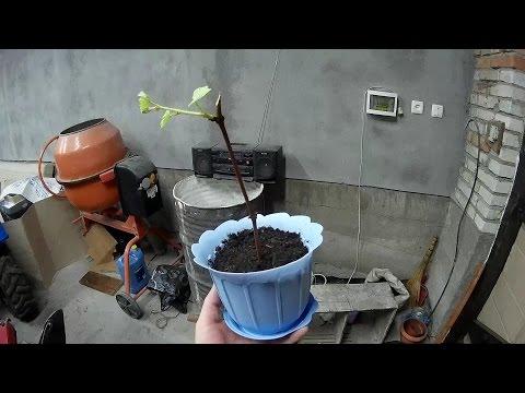 Кільчування.Висажування винограду.Кильчевание черенков.Vine propagation