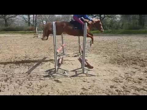 jument poney, alezan crins lavés, 5 ans