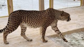 Новая когтеточка для гепарда Ичель
