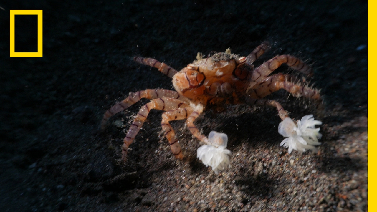 "Watch These Crabs Tear Their Living ""Pom-Poms"" to Shreds 