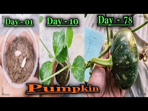 , title : 'How To Grow Pumpkin from seeds ll Grow Vegetables At Terrace Garden ll About Hand Pollination