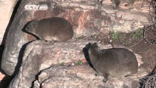 South Africa's Wonder Beast: Rock Hyrax