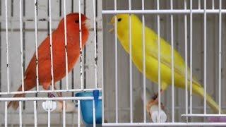 Canarios Cantando Lipocromos Rojos Y Amarillos 2015