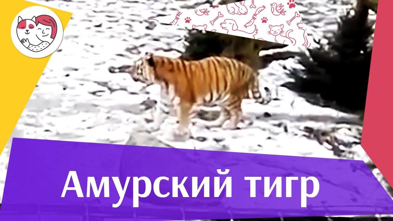 Амурский тигр Ареал обитания на ilikepet
