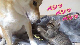 ついに!慎重派の柴犬が子猫ちゃんに近づいた♪---Shiba inu Riko mother of kittens---