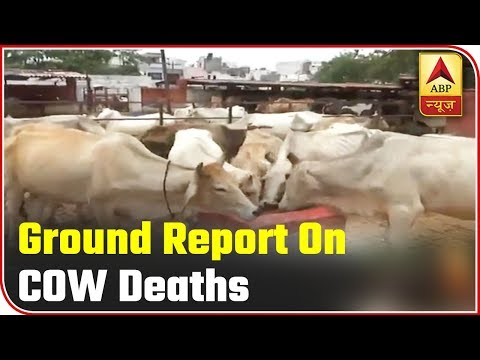 Ground Report Over Cow Deaths In UP | ABP News