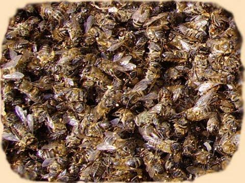 Сбор пчелиного подмора.  Как правильно  просушить пчелиный подмор для лекарств.