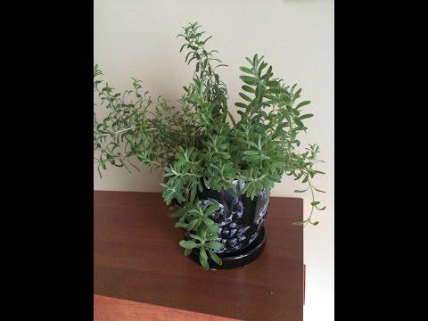 Выращивание лаванды из семян. (Lavender).