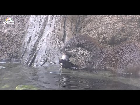世界カワウソの日特別ガイド②ハンティング編(World Otter Day)