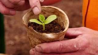 Planting Giant Pumpkin Seeds   WYOgiants