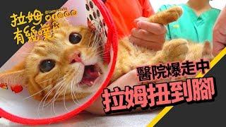 Angry Cat at the Vet┃LAMUNCATS ♧